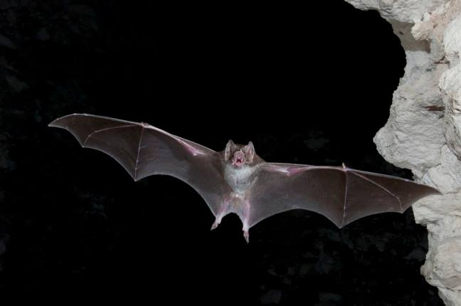 Vampire Bats and — Biomimetics?
